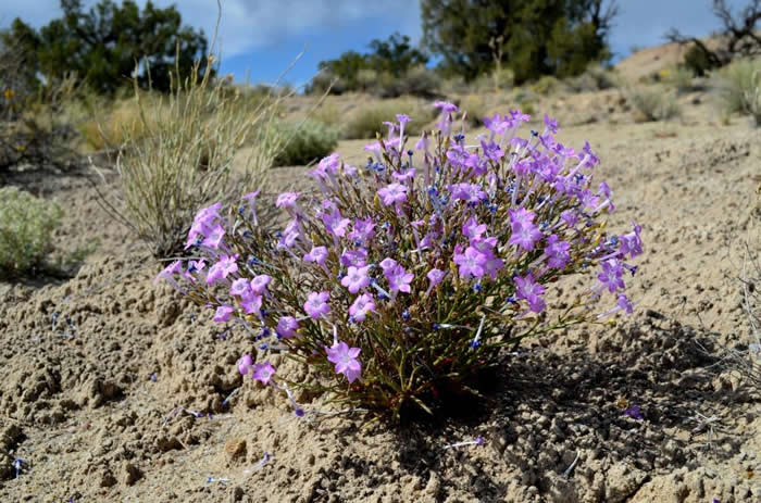 Purple flowers in desert environment