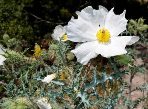 A white flower with prickly stem