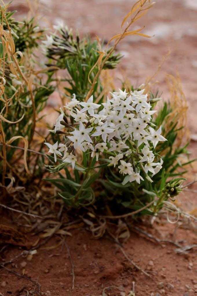 White star-shaped blooms on a dark green clump