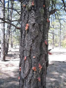 Tree trunk with signs of bark beetle