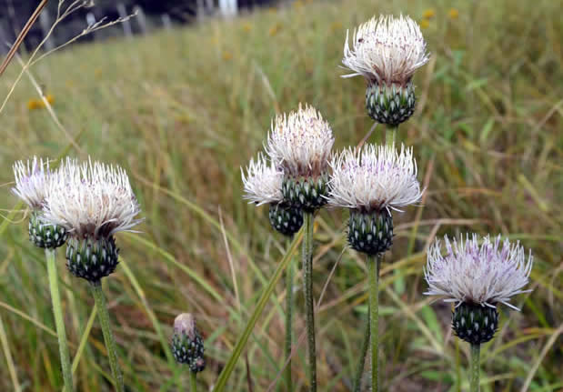 White thistles in a field