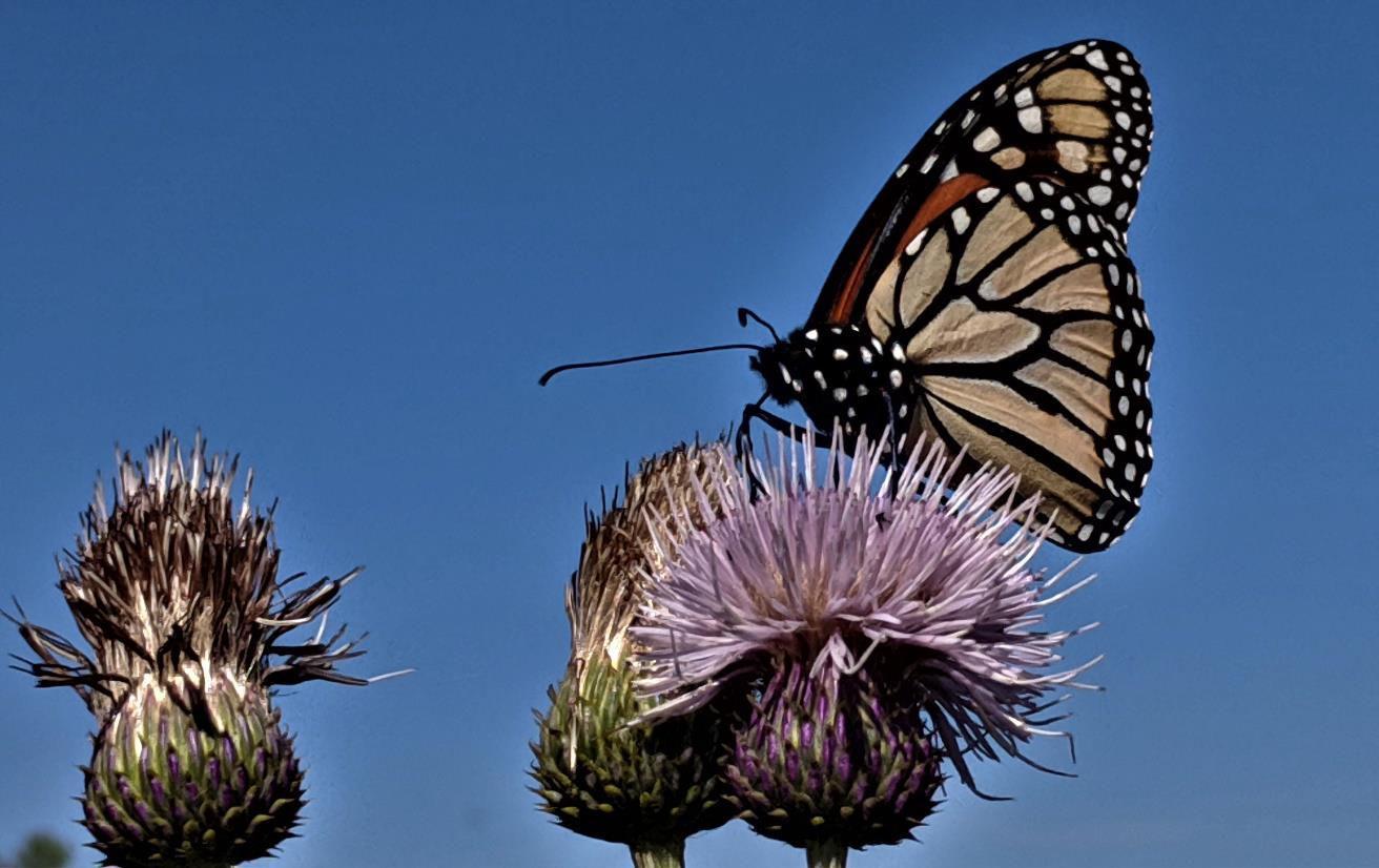 Butterflies alighting on a thistle