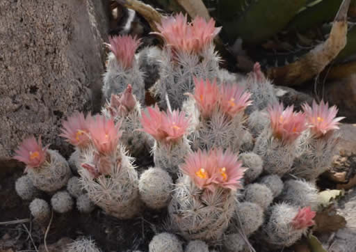 A group of flowering cacti