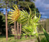 Spiky plant with yellow tendrils