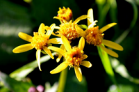 Bright yellow blooms with orange center