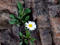 Wildflower with white bloom against a rock