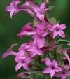 Closeup of fuschia blossoms