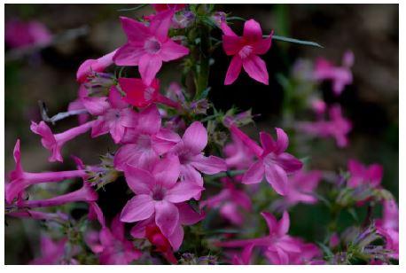 Closeup of fuschia wildflowers