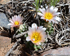 Three cactus blooms peek up from the ground