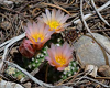 Three ball cactus, each with bloom on top