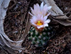 Tiny ball cactus with pale pink blooms