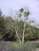 Spindly tree with clumps of vegetation at top
