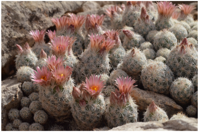 Cluster of ball cacti, each with a bloom on top