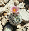 Ball cactus growing in rocks with bloom on top