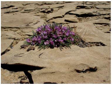 Small purple wildflower cluster in rocky landscape