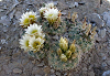 Cluster of ball cacti with pale yellow blooms