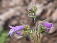 Purple blooms on a slender stem