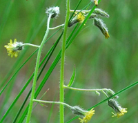 Tight yellow blossoms on spindly stems
