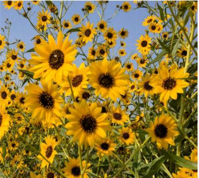 Sunflowers set against a blue sky