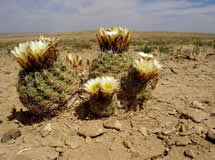 Cacti with pale yellow blooms on dry ground