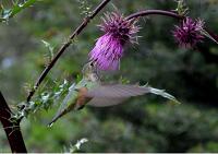 Fuschia thistle blossom against foliage