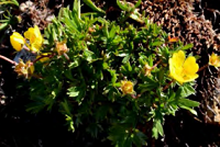 Bright yellow blooms on a dark green clump