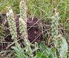 vertical wildflower clump
