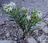 Tiny star-shaped blooms on plant in rocky landscape
