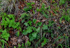 Low-growing dark green foliage