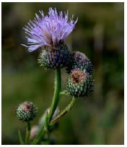Bright purple thistle against green blurry background