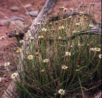 Wispy plant with tiny white flowers