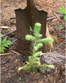 A tree seedling with a shovel behind it
