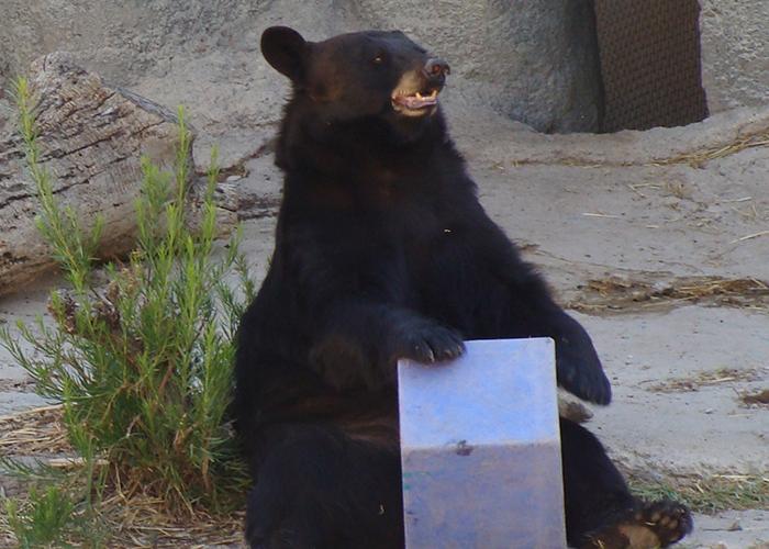 Black bear playing