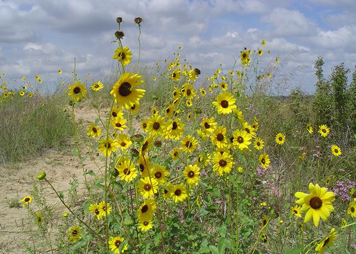Sunflower on trail