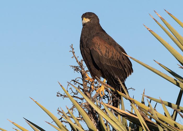 Brantley Golden Eagle