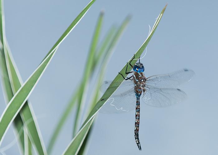 Brantley Dragonfly