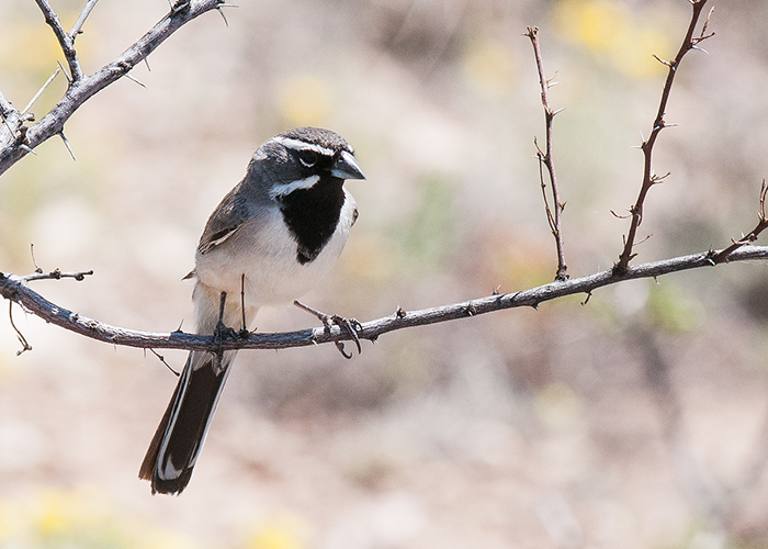 Brantley Songbird