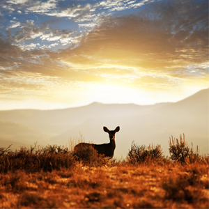 Deer silhouette in front of a sunset