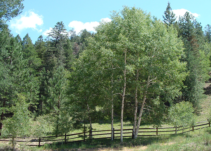 Trees with fence