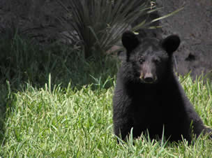 black bear sitting down in grass