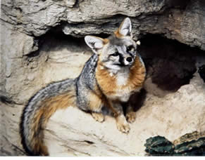 fox sitting down in cave