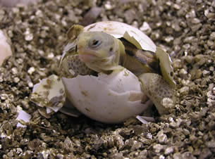 tortoise hatching from egg
